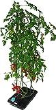 水畑 つるまき支柱付き トマト、ミニトマト、ナス、さやいんげんなど丈の必要な野菜を水耕栽培