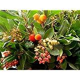 Corbezzolo Pianta in vaso di Corbezzoli- 10 pezzi Piante in vaso 7x7 frutti frutta arbutus unedo h 20 cm