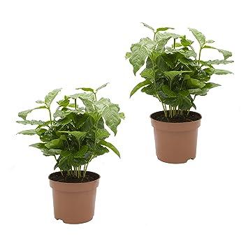 Dominik Blumen und Pflanzen, Kaffee - Pflanze, Coffea arabica, 2 ...