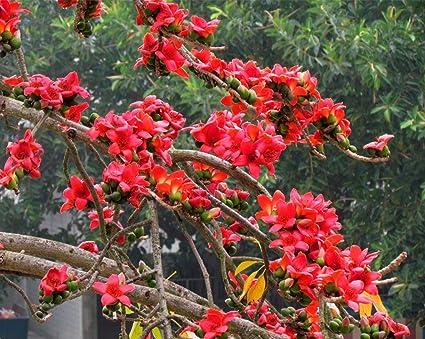 Amazon com: Nianyan 20 Kapok Bombax ceiba Large Deciduous Trees