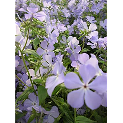 WOODLAND PHLOX WILD BLUE Phlox divaricata FRAGRANT SPRING BLOOMS SEEDS : Garden & Outdoor