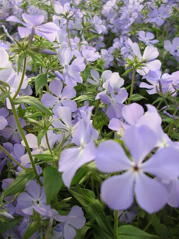 Amazon Com Woodland Phlox Wild Blue Phlox Divaricata