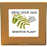 Grow Your Own Mimosa Sensitive Tickle Plant Kit - Unusual Christmas Gardening/Gardeners Gift