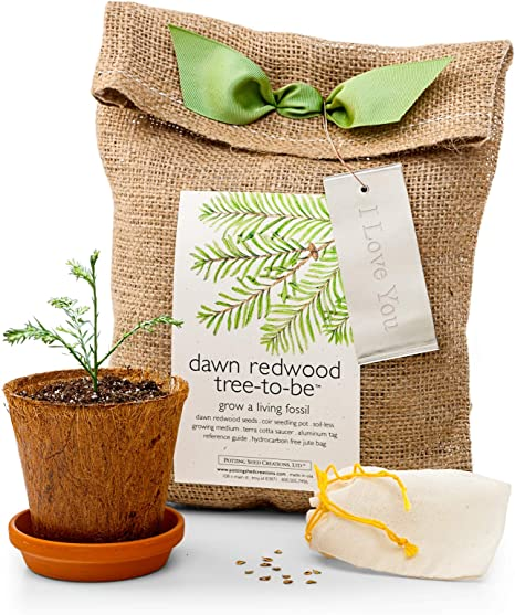 Amazon.com: Dawn Redwood tree-to-be: Jardín y Exteriores