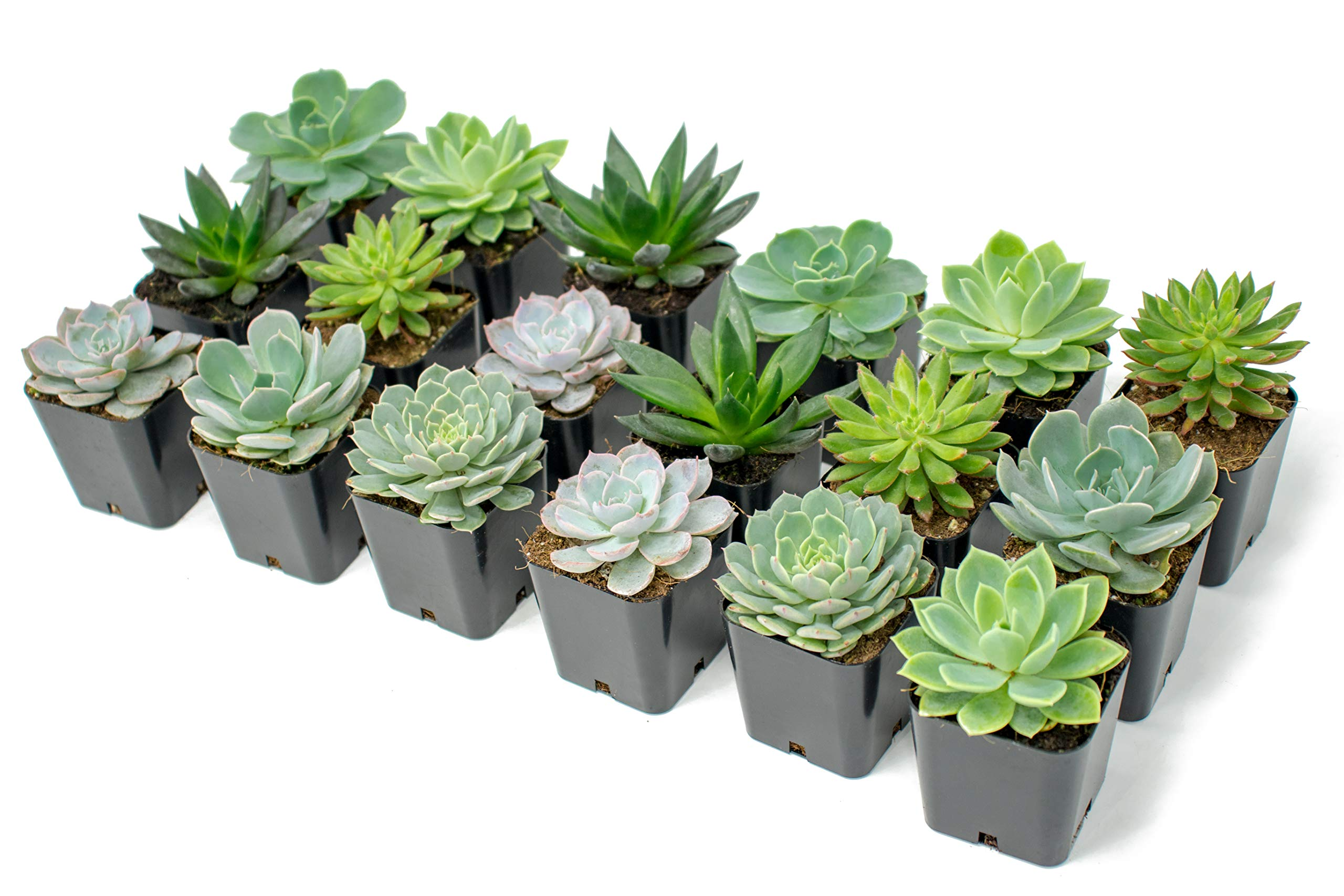 Succulent Plants | 18 Echeveria Succulents | Rooted in Planter Pots with Soil | Real Live Indoor Plants | Gifts or Room Decor by Plants for Pets by Plants for Pets