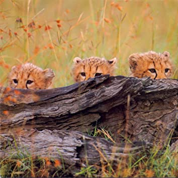 Cheetah cubs national geographic blank greeting card amazon cheetah cubs national geographic blank greeting card m4hsunfo
