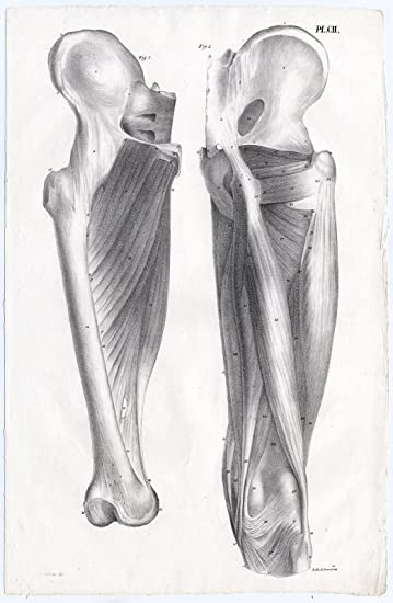 Amazon.de: Antiker Druck von menschlichen Anatomie-Muskeln-Bein ...