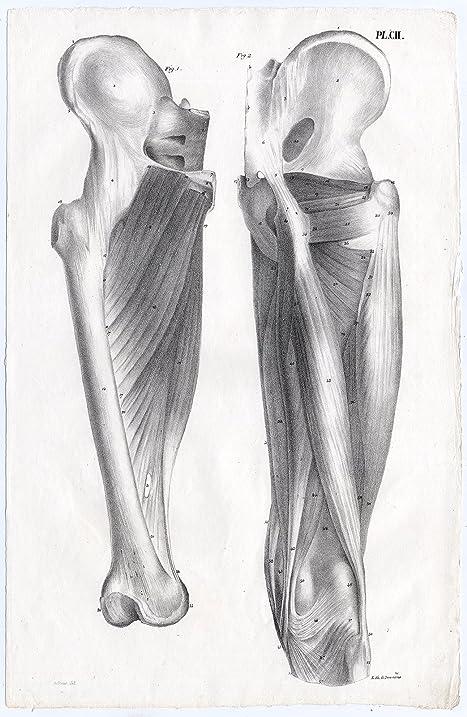 Amazon Antique Print Human Anatomy Muscles Leg Femur Bony