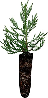 product image for Giant Sequoia | Live Tree Seedling (Medium) | The Jonsteen Company