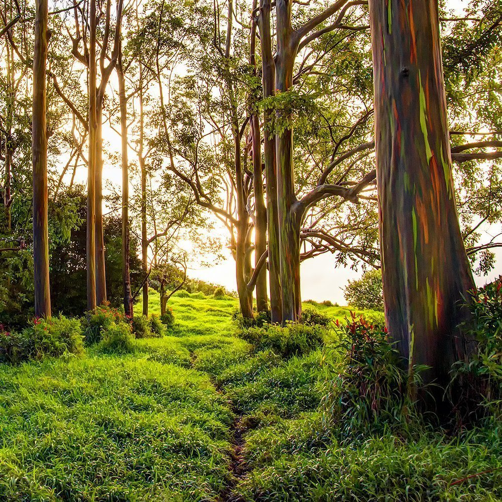 Maui Hawaii Aluminum Metal Print, Rainbow Eucalyptus Trail, Nature Decor Photograph, Large Wall Art by Maui J & M Photography