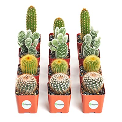 Shop Succulents Cactus-2 | Hand Selected for Health, Size | Assorted Pack of Cacti | Collection of 12, Standard Box: Garden & Outdoor