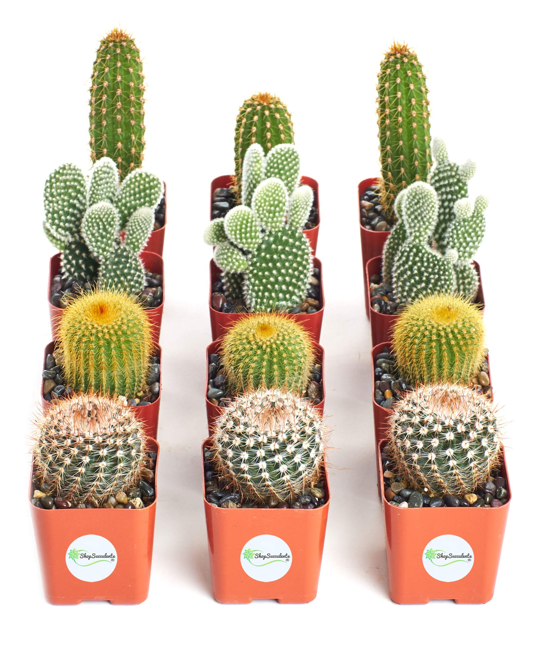 Shop Succulents | Cool Cactus Collection of Live Succulent Plants, Hand Selected Variety Pack of Cacti | Collection of 12 in 2'' pots by Shop Succulents