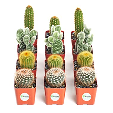Shop Succulents | Cool Cactus Collection of Live Succulent Plants, Hand Selected Variety Pack of Cacti | Collection of 12 in 2  pots