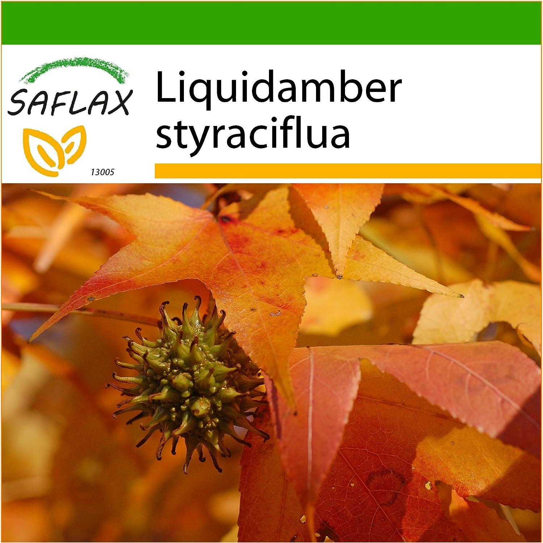 SAFLAX - Árbol del ámbar - 100 semillas - Con sustrato ...