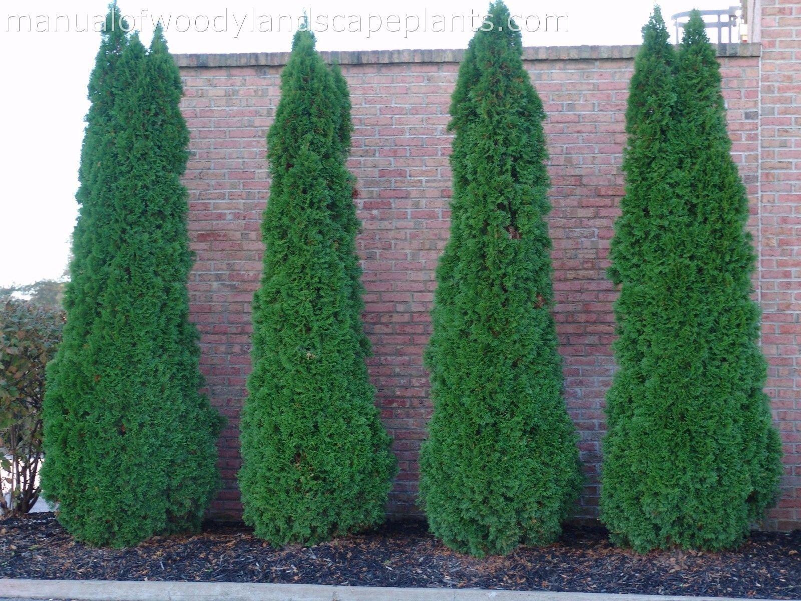 25 EMERALD GREEN Arborvitae 3'' pot - (Thuja occidentalis)