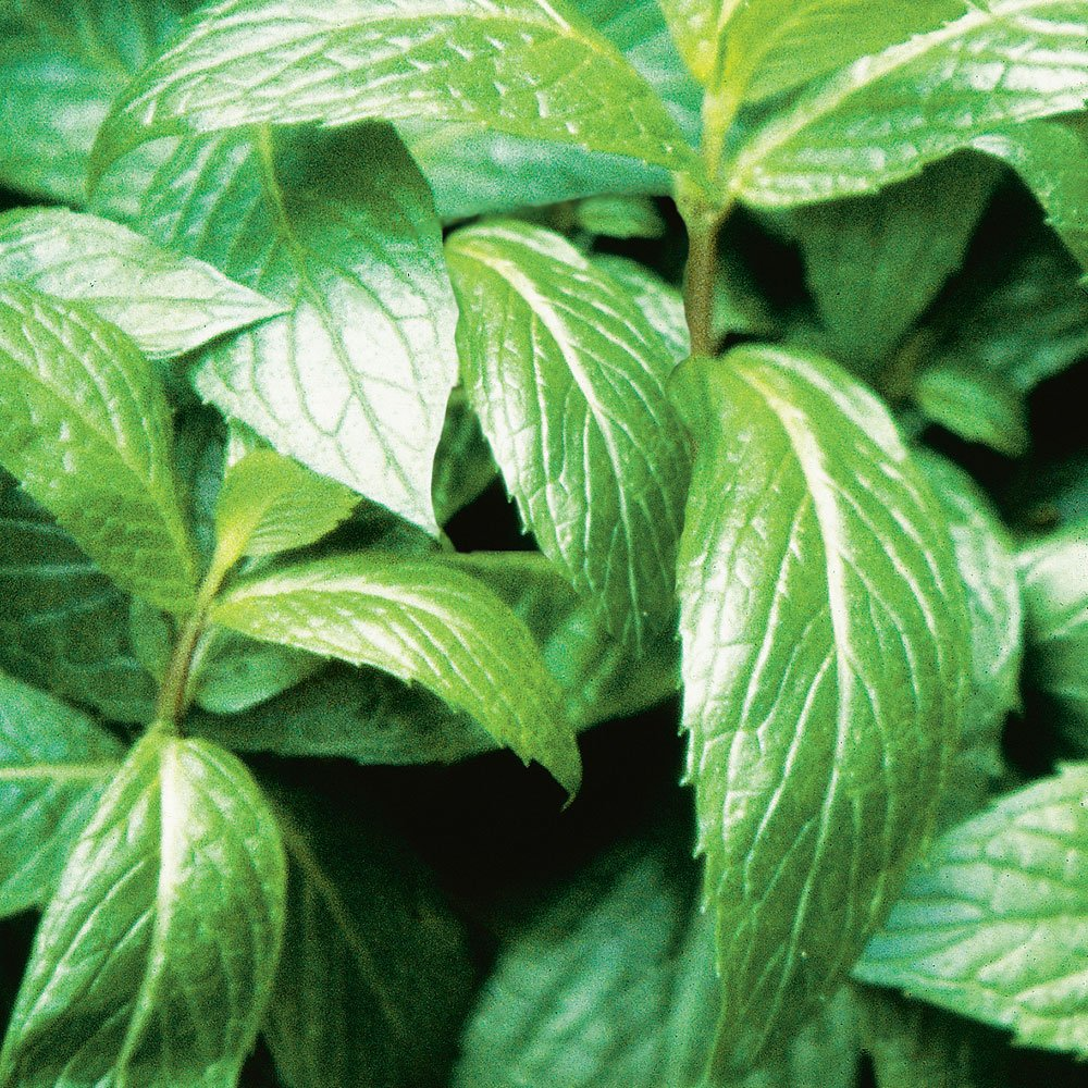 Bonnie Plants Sweet Mint Live Edible Aromatic Herb Plant - 4 Pack, Easy To Grow, Non-GMO, Perennial In Zones 5 to 11, Used In Teas & Other Beverages, Salads, Garnish, Jelly & Desserts by Bonnie Plants (Image #7)