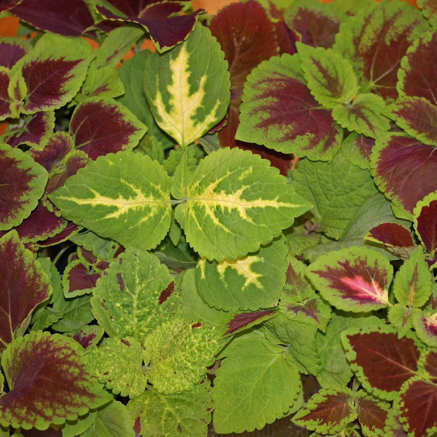 RAINBOW MIX Annual 50 Seeds Coleus Seeds Great as Container Plant