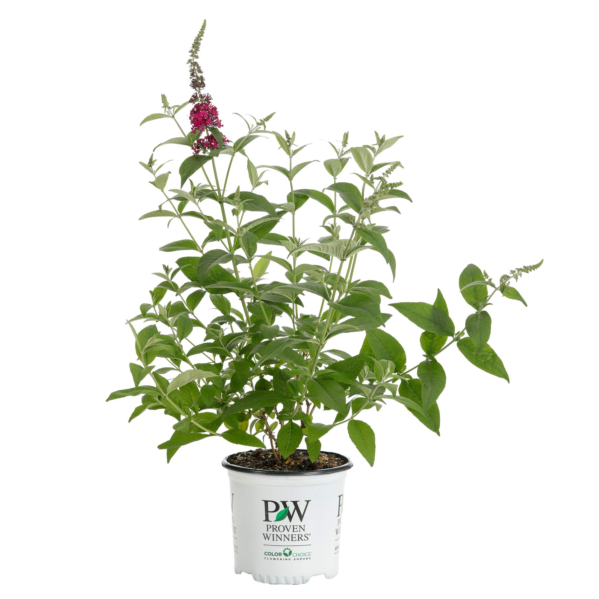 1 Gal. Miss Molly Butterfly Bush (Buddleia) Live Shrub, Deep Pink Flowers