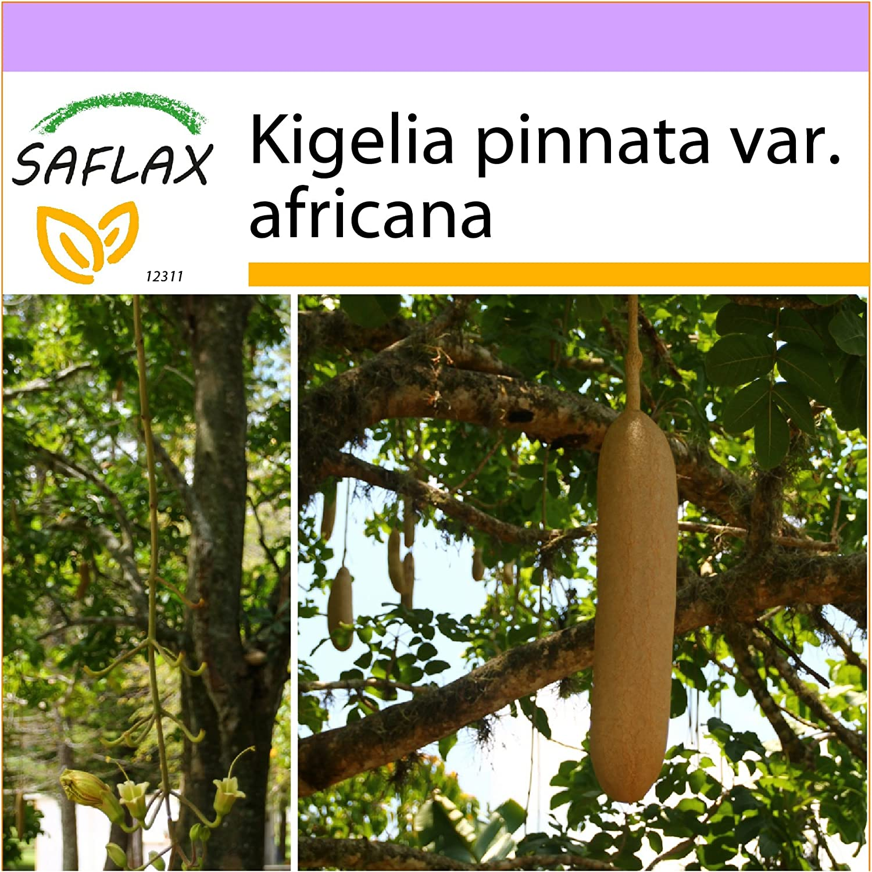 SAFLAX - Leberwurstbaum - 10 Samen - Kigelia pinnata var. africana