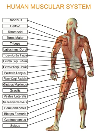 Menschlichen Körper muskuläre System Educational - Bildung Poster ...