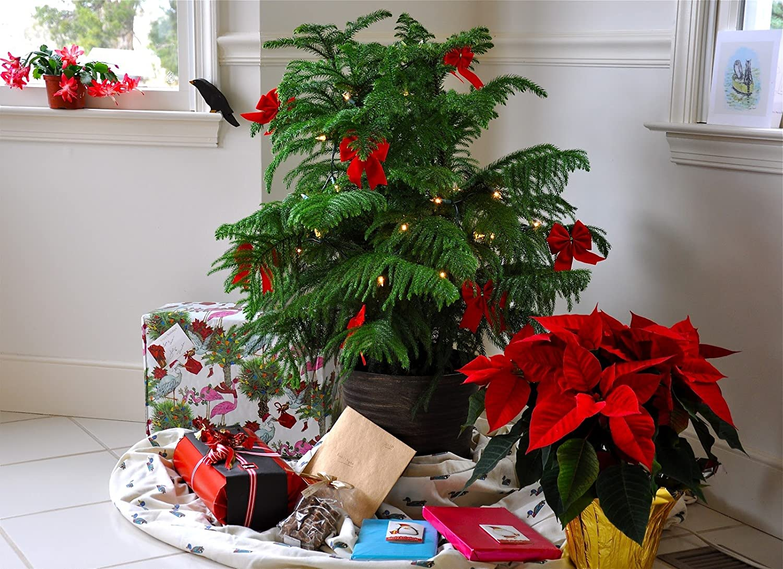Fantastic Living Christmas Tree for life - Norfolk Island Pine ...