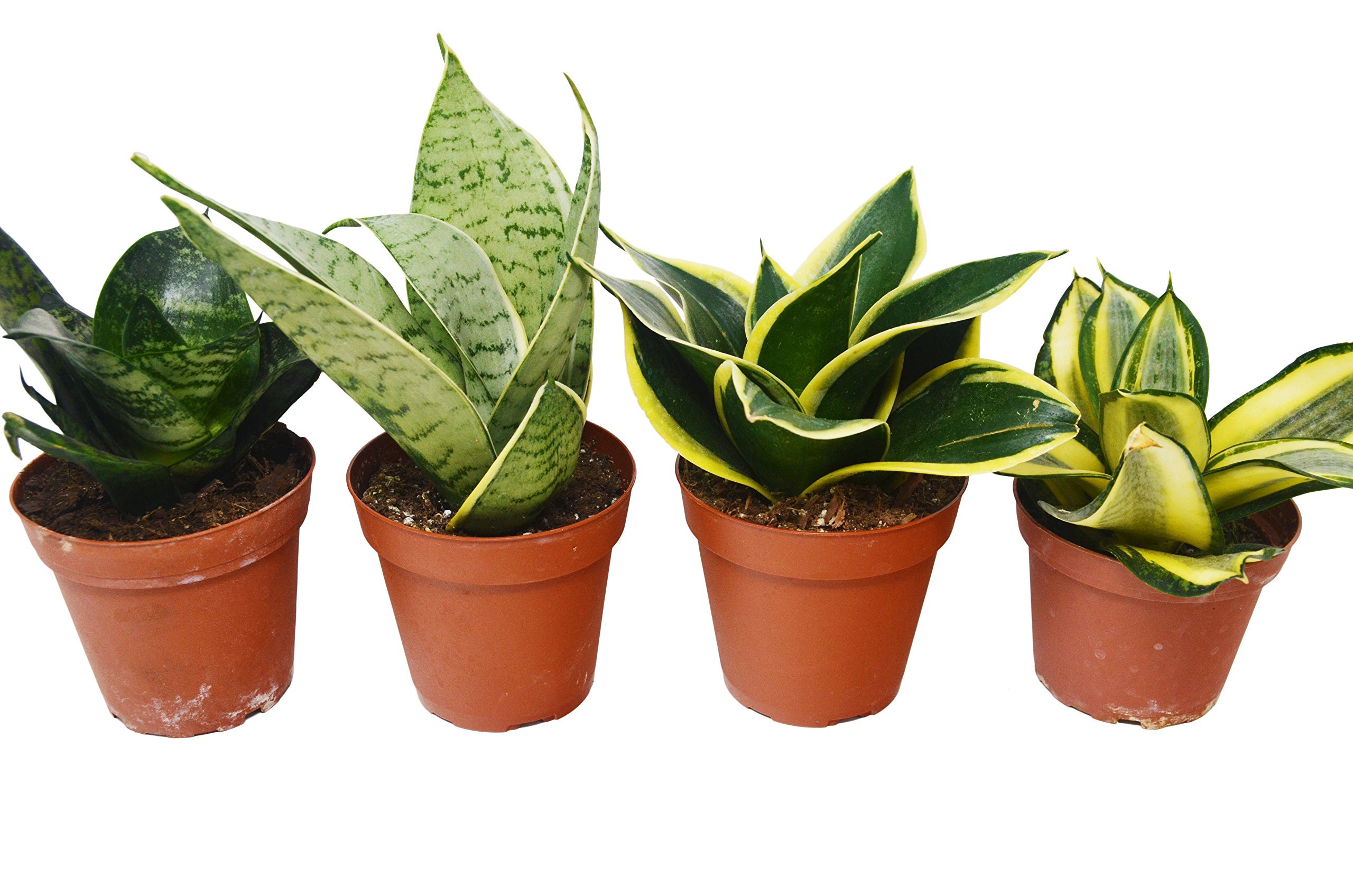 4 Different Snake Plants in 4'' Pots - Sansevieria - Live Plant - FREE Care Guide by House Plant Shop