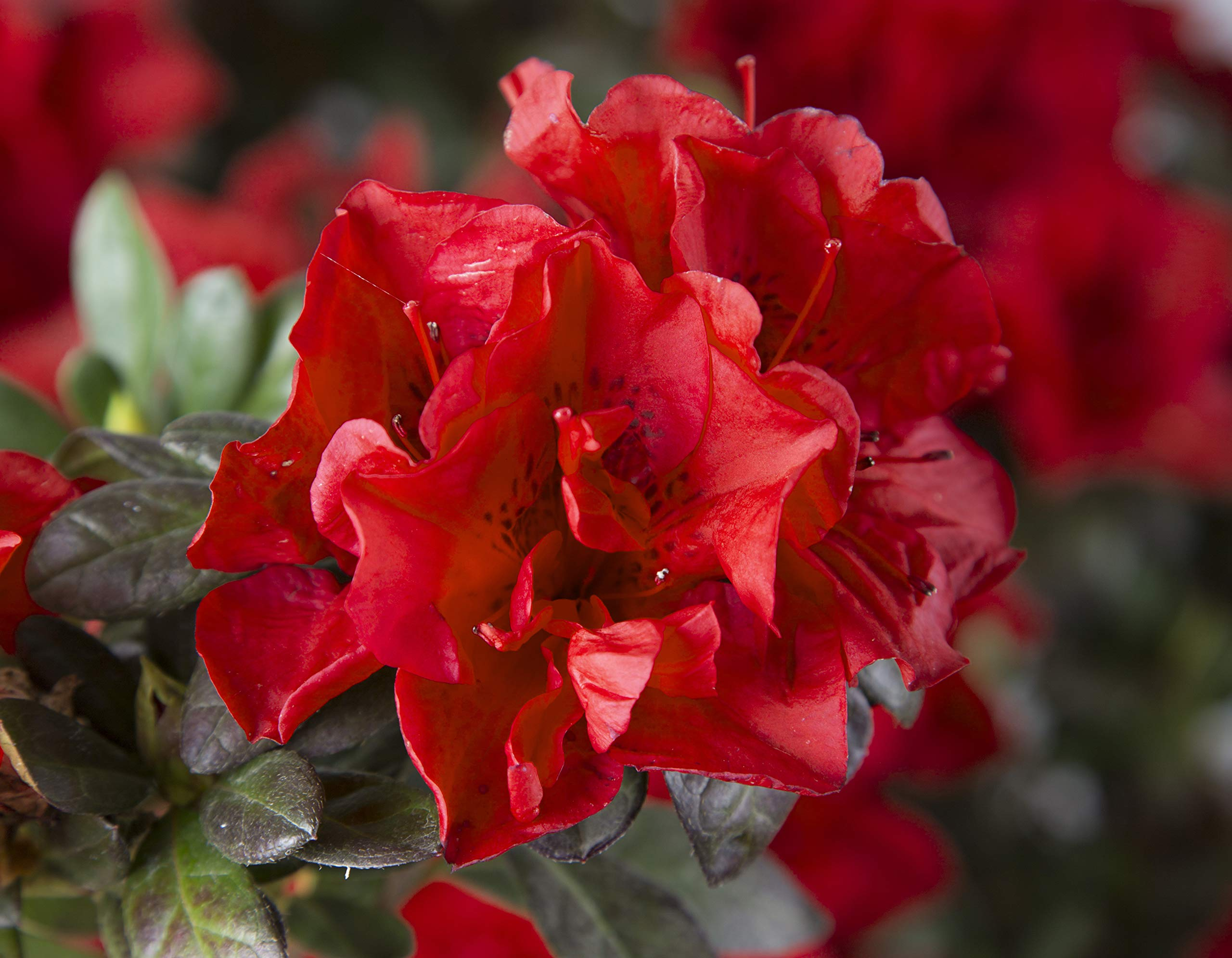 2 Gallon - Encore Azalea Autumn Fire - Vivid Red Blooms - Multi-season Re-blooming Evergreen Shrub