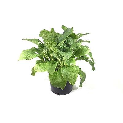 Premier Plant Solutions 00254 Camelot Rose Foxglove (Digitalis), 3 Gallon: Garden & Outdoor