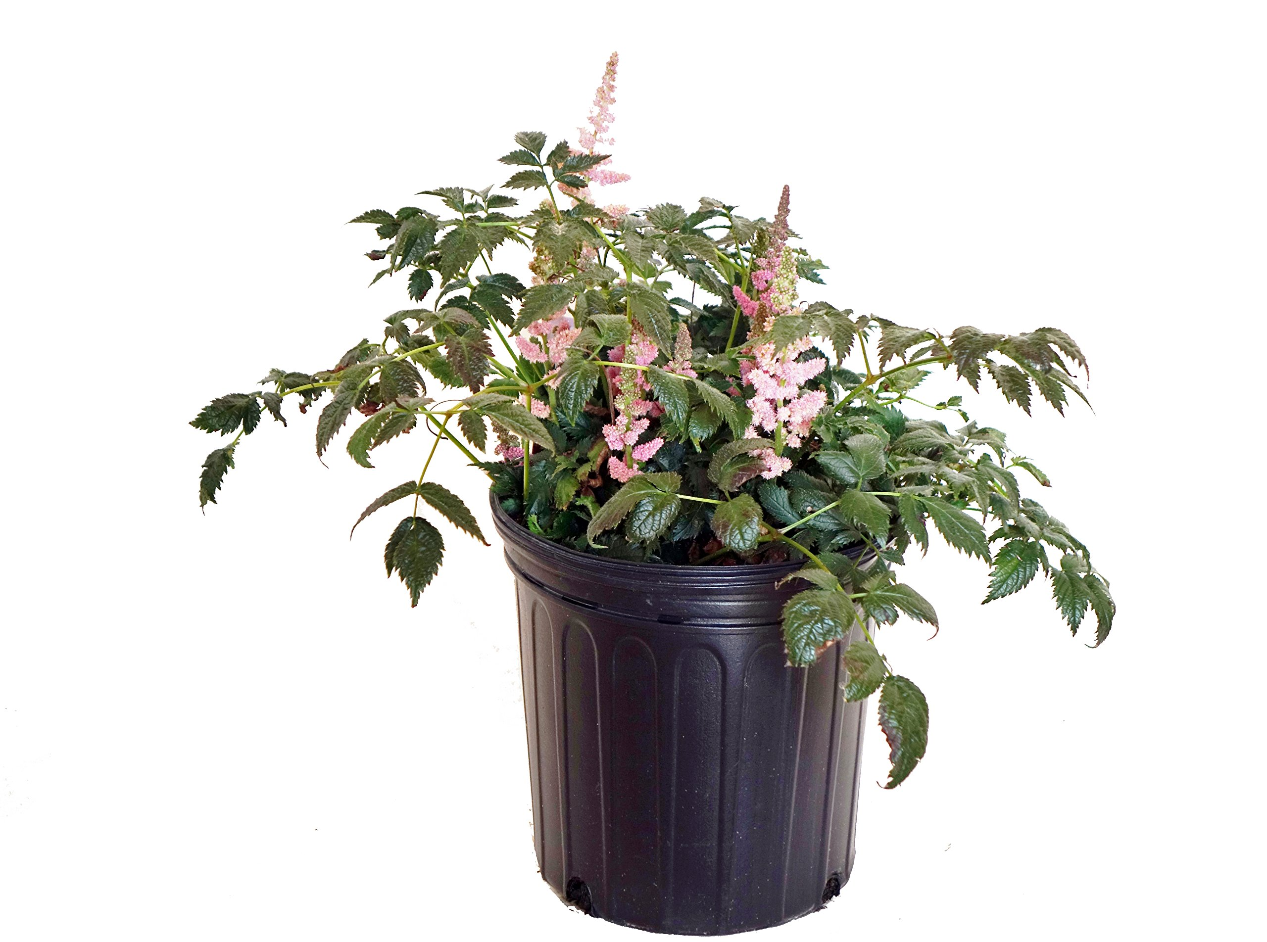 Astilbe chinensis 'Visions in Pink' (Chinese Astilbe) Perennial, Pink Flowers, 2 - Size Container