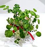 ハーブの水耕栽培キット「クレソン」