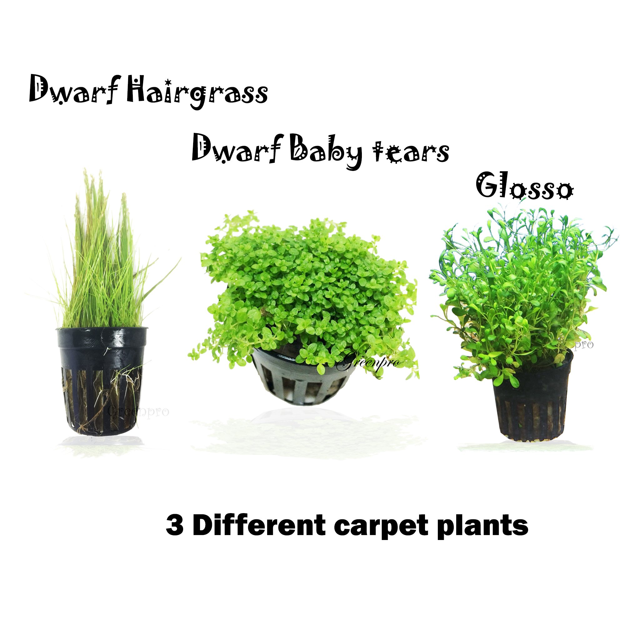 3 Carpet Plants Package Dwarf Baby Tears Dwarf Hairgrass and Glosso Potted Live Aquatic for Aquarium Freshwater Fish Tank by Greenpro by GreenPro