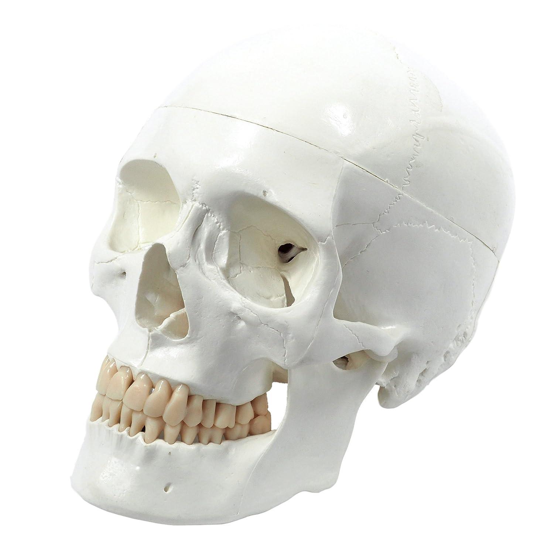 Cranstein E 240 Human Skull Life Size 3 Parts Amazon