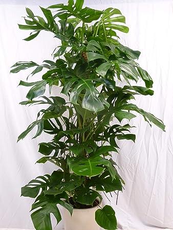 Palmenlager Monstera Pertusum Fensterblatt 180190 Cm