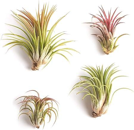 Amazon Com Shop Succulents Good Juju Tropical Tillandsia Air