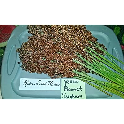 Yellow Bonnet Sorghum - 30 Seeds : Garden & Outdoor