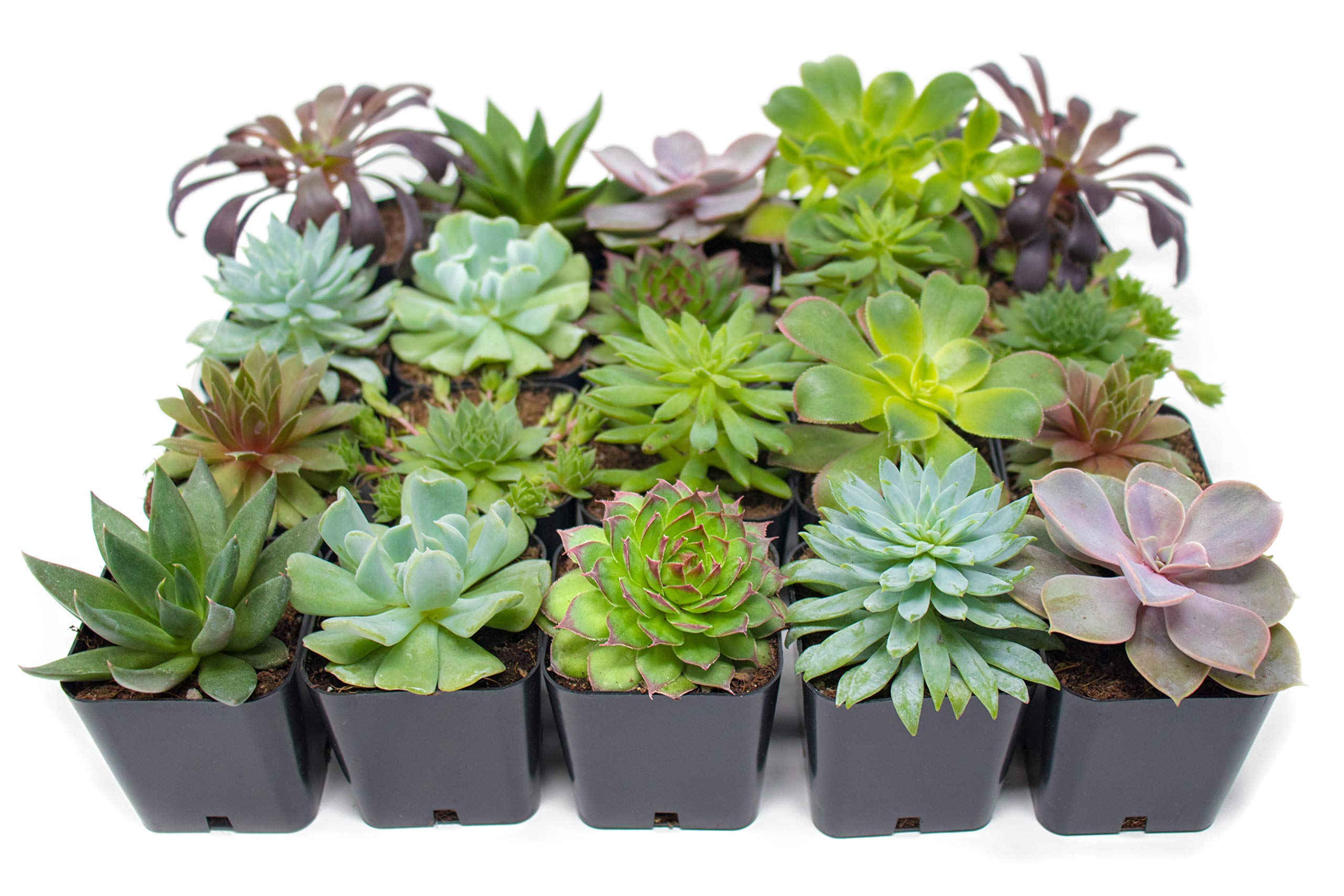Succulent Plants (20 Pack) Fully Rooted in Planter Pots with Soil | Real Live Potted Succulents / Unique Indoor Cactus Decor by Plants for Pets 2 HAND SELECTED: Every pack of succulents we send is hand-picked. You will receive a unique collection of species that are fully rooted and similar to the product photos. Note that we rotate our nursery stock often, so the exact species we send changes every week. THE EASIEST HOUSE PLANTS: More appealing than artificial plastic or fake faux plants, and care is a cinch. If you think you can't keep houseplants alive, you're wrong; our succulents don't require fertilizer and can be planted in a decorative pot of your choice within seconds. DIY HOME DECOR: The possibilities are only limited by your imagination; display them in a plant holder, a wall mount, a geometric glass vase, or even in a live wreath. Because of their amazingly low care requirements, they can even make the perfect desk centerpiece for your office.