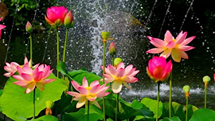 Bee Garden Lotus Flower Seeds Pink Amazonin Garden Outdoors
