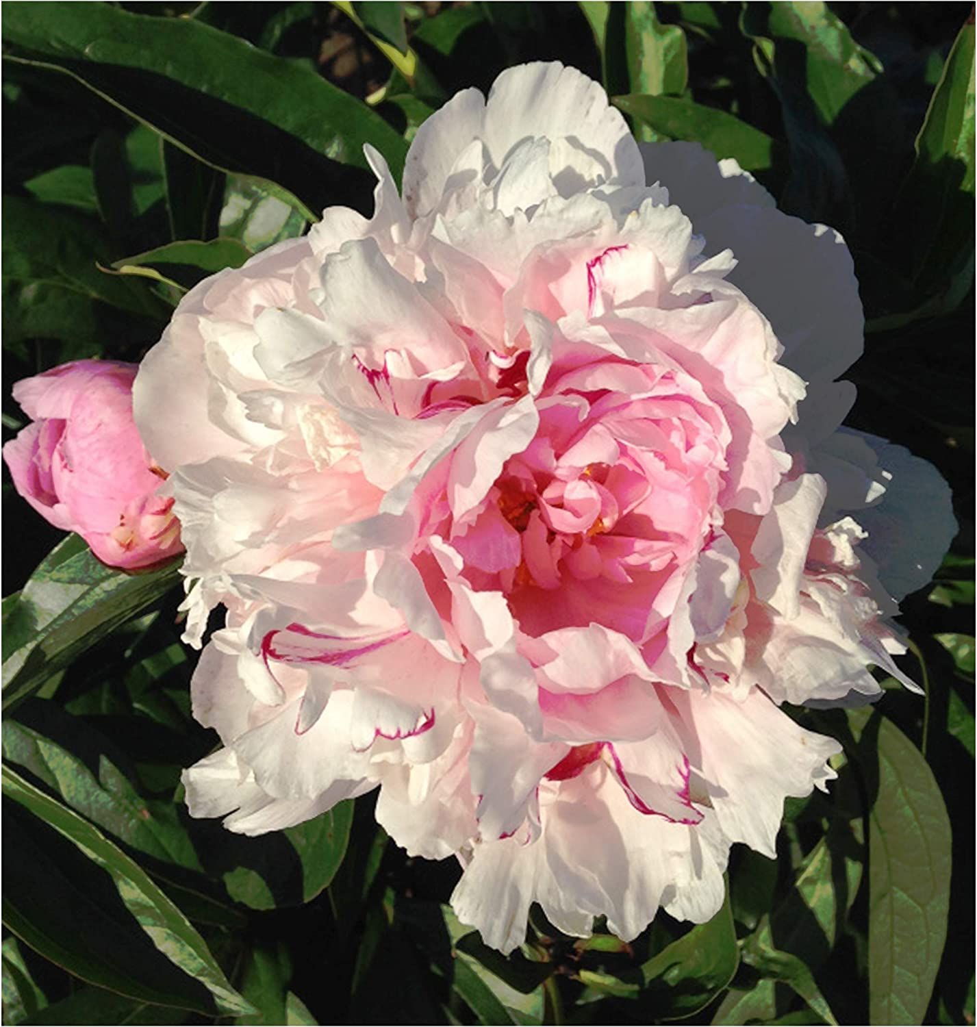 James Mann Double Pink Peony Bare Root 3-5 Eyes