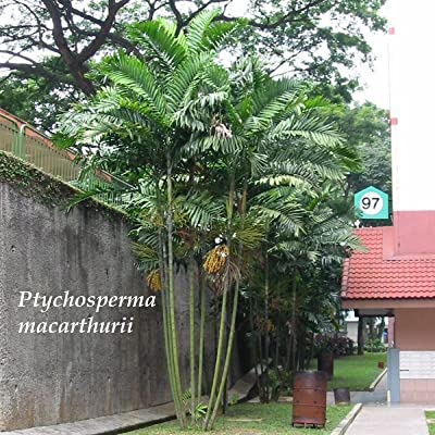 ~MacArthur Palm Tree~ Ptychosperma macarthurii Palm BareRoot Plant 15+ Seedlings : Garden & Outdoor