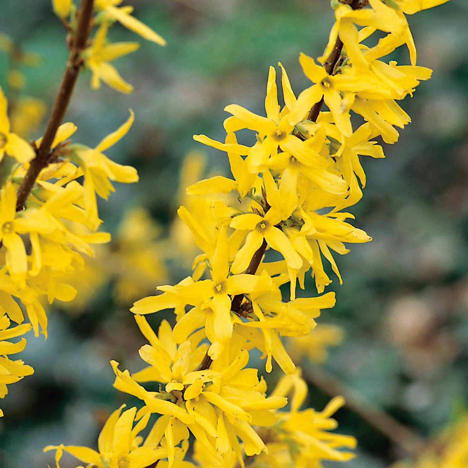 Picture of Live Forsythia aka Forsythia int. 'Lynwood Gold' Plant Fit 1 Gallon Pot