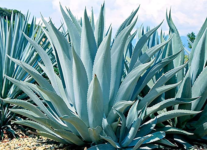 Blue Agave Live Rooted Succulent Plant Thorned 5-8 Inches Tall 1-2 Years Old Cold Hardy Drought Resistant Easy-to-Grow (1 Plant Pack)