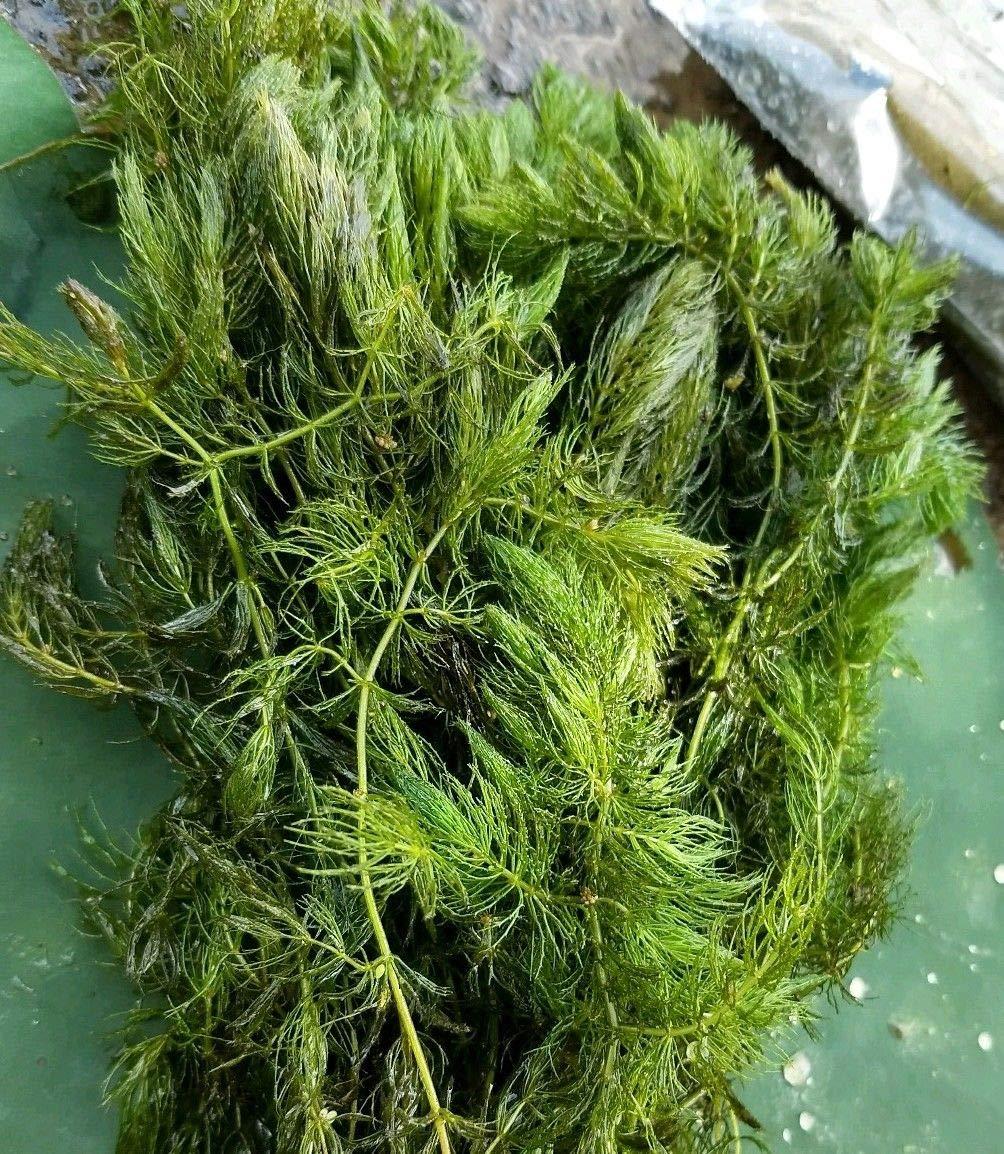Medium Flat Rate Box Full Hornwort Pond Aquarium Plant Fry Hider Fresh Green by MW145 (Image #1)