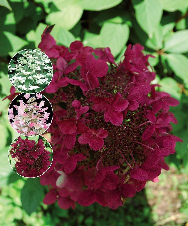 Hydrangea paniculata Wim's Red. 3 Plants in 9cm Pots IR Plant and Garden Centre
