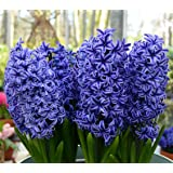 Blue Jacket Hyacinth 6 Bulbs - True Blue - FRAGRANT - 15/16 cm Bulbs