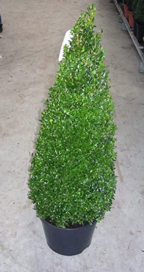 2 Buchsbaum-Kegel // Pyramide Dünger !! Buxus sempervirens Höhe: 110-120 cm