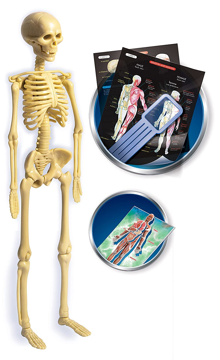 Clementoni Science And Play Anatomy Lab Amazon Toys Games