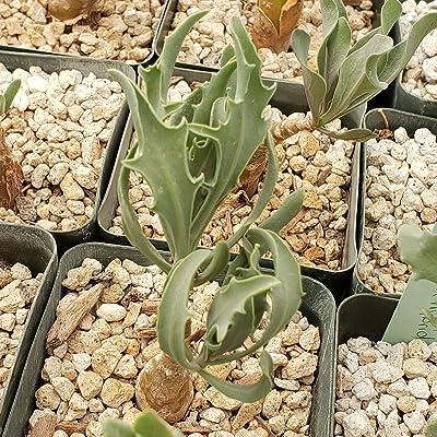 Othonna Lobata Hybrid Live Plant Cacti Succulent #PD01 : Garden & Outdoor