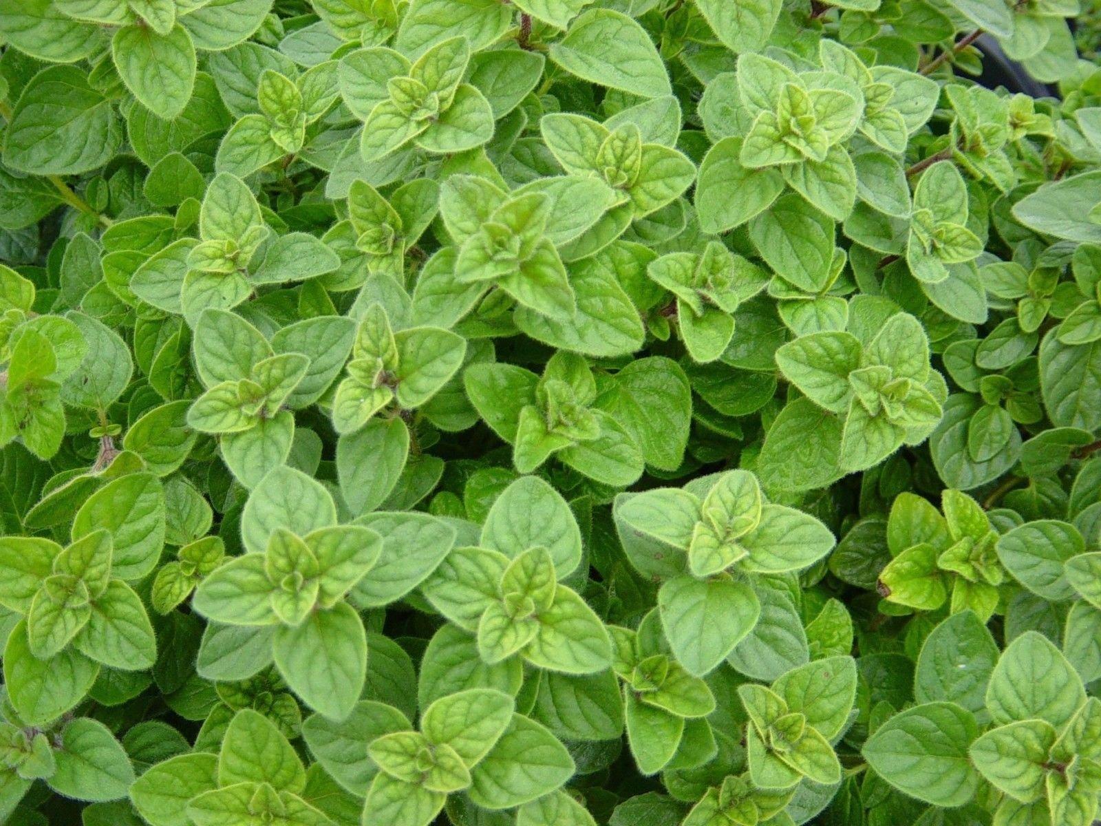 Greek Oregano, Winter Marjoram, Herb, Non-GMO, Variety Sizes,