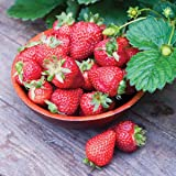 Burpee 'Seascape' Ever-Bearing Strawberry shipped