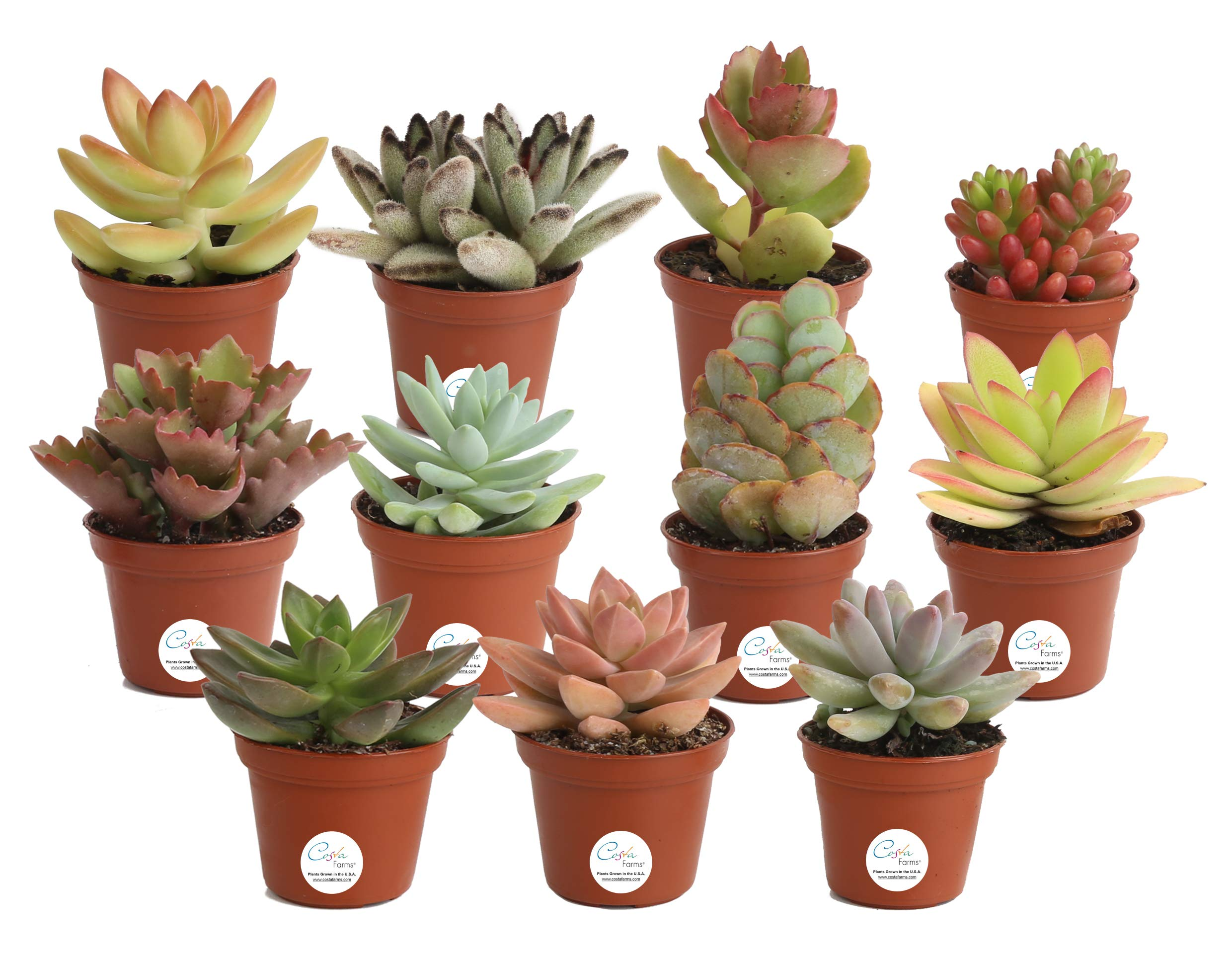 Costa Farms Unique Succulents Indoor Plants 11-Pack, Grower's Choice, 2-Inch Round,